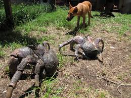 coconut watercolour painting coconut oil 300 ways to use coconut oil leah fox coconut crab beside coconut whole coconut inside of a coconut crab beside a dog