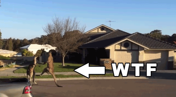 kangaroo-take-their-fight-to-the-street-kangaroo-street-fighting-kangaroo-kicking-each-other-aussie-style-australian-street-addictedtoeverything