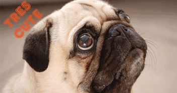 Funny-Pugs-Part-6-–-Most-Obedient-Pug-in-the-World-–-Pug-Trickspugs-not-drugs-funny-cute-fawn-pug-funny-pug-clips-videos-pictures-images-memes-puppys-cute-pugs-pugs-not-drugs-puglife-puggin